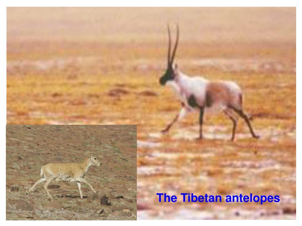The Tibetan antelopes