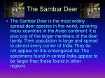 the sambar deer