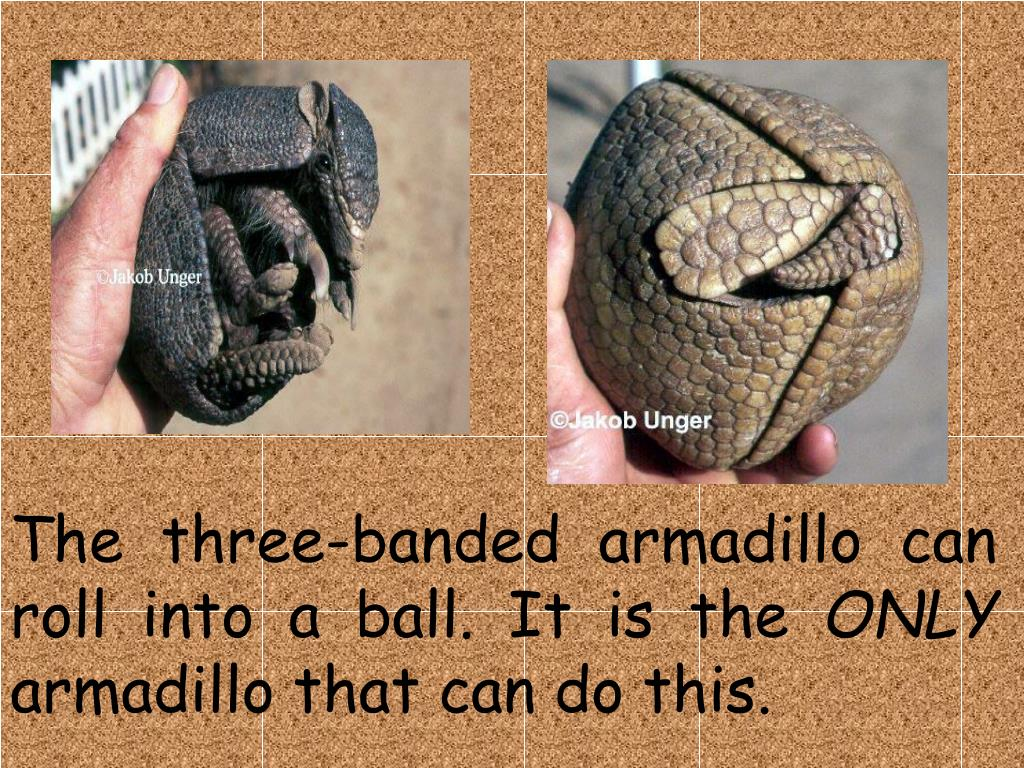 The three-banded armadillo can roll into a ball. It is the
