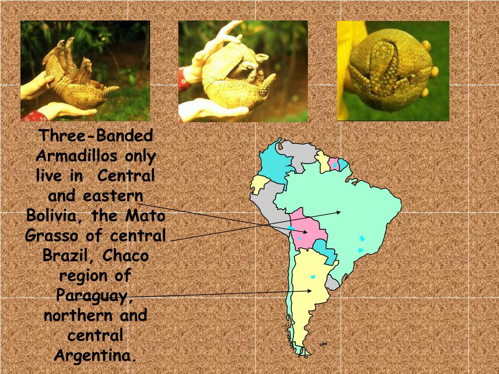 Three-Banded  Armadillos only live in  Central and eastern Bolivia, the Mato Grasso of central Brazil, Chaco region of Paraguay, northern and central Argentina.