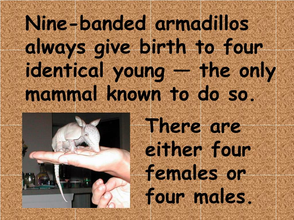 Nine-banded armadillos always give birth to four identical young — the only mammal known to do so.