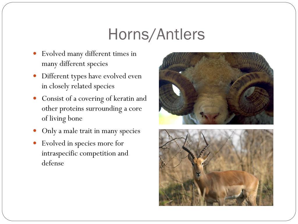 Horns/Antlers