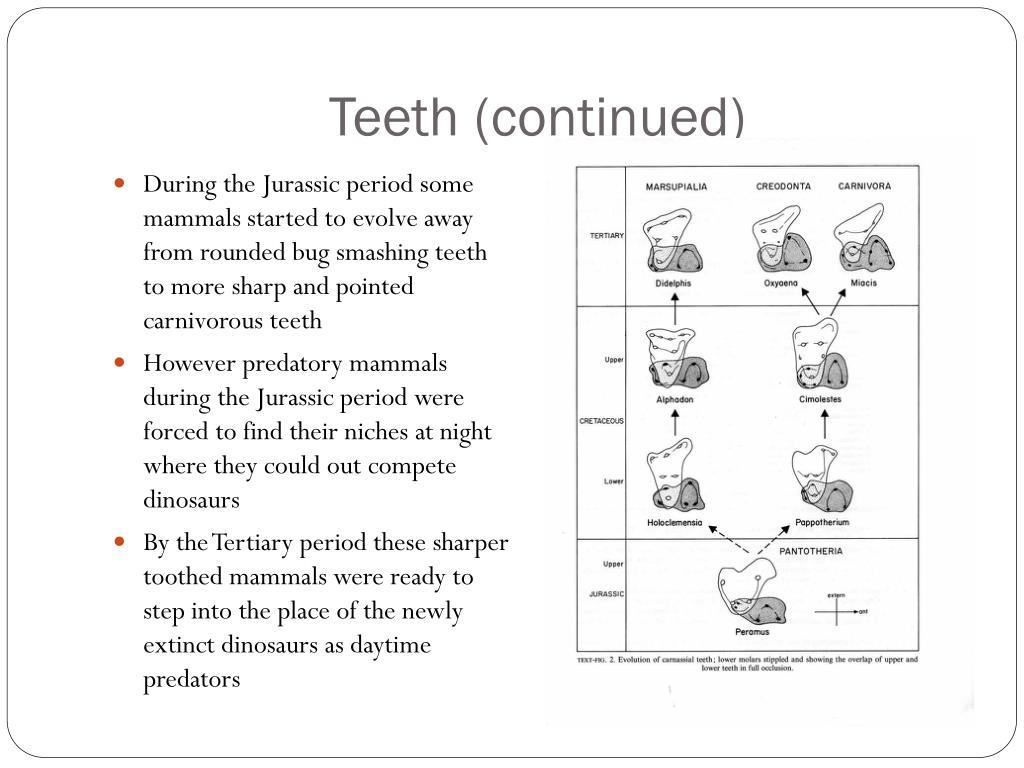 Teeth (continued)