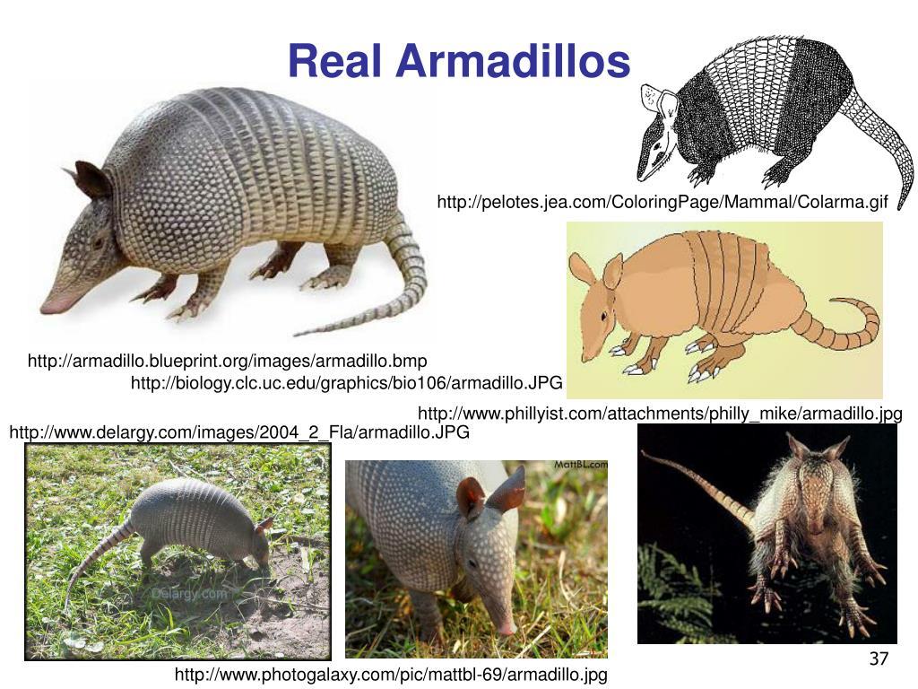 Real Armadillos