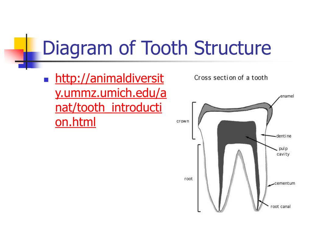 Diagram of Tooth Structure