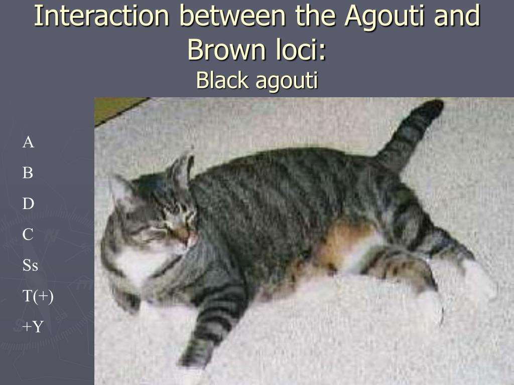 Interaction between the Agouti and Brown loci: