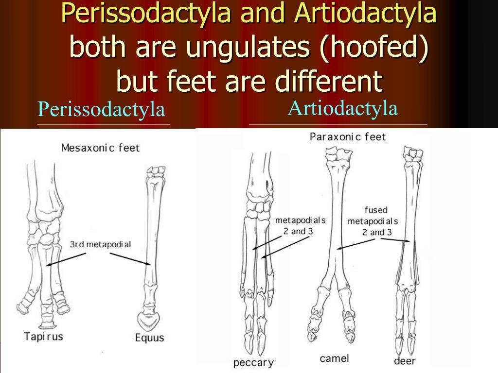 Perissodactyla and Artiodactyla