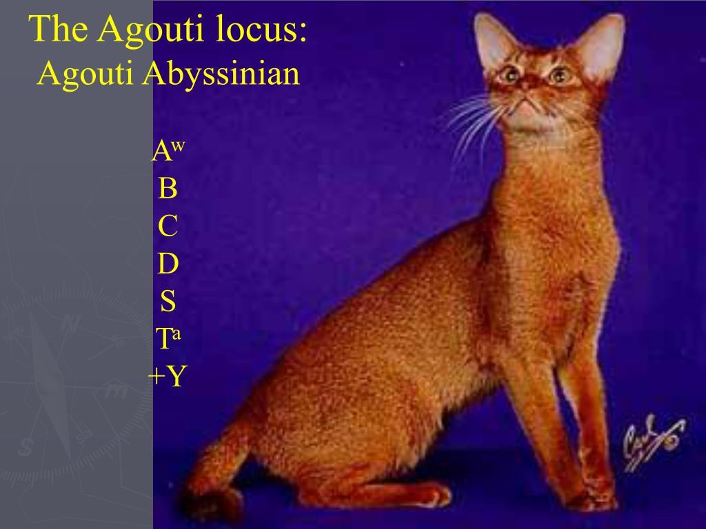 The Agouti locus: