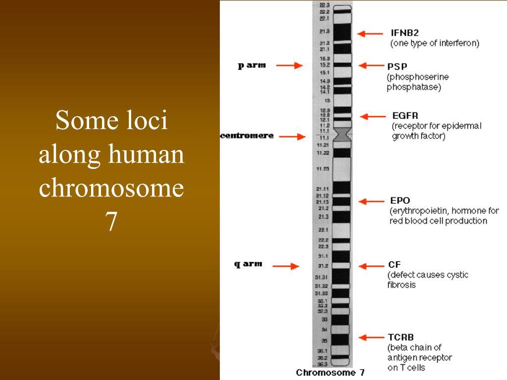 Some loci along human chromosome 7