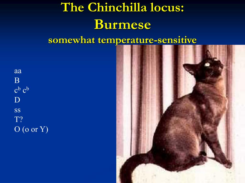 The Chinchilla locus: