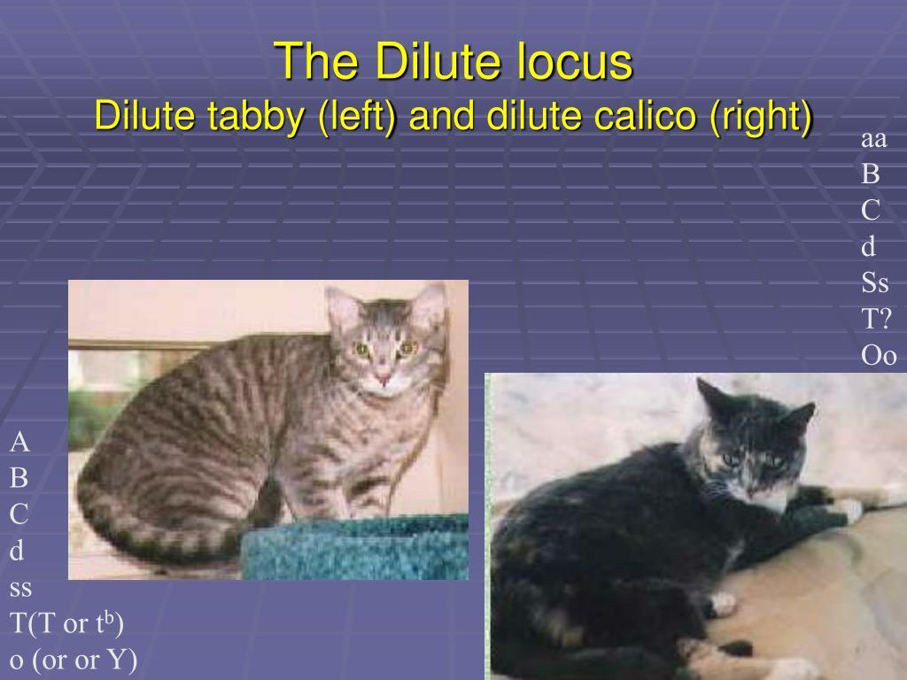 The Dilute locus