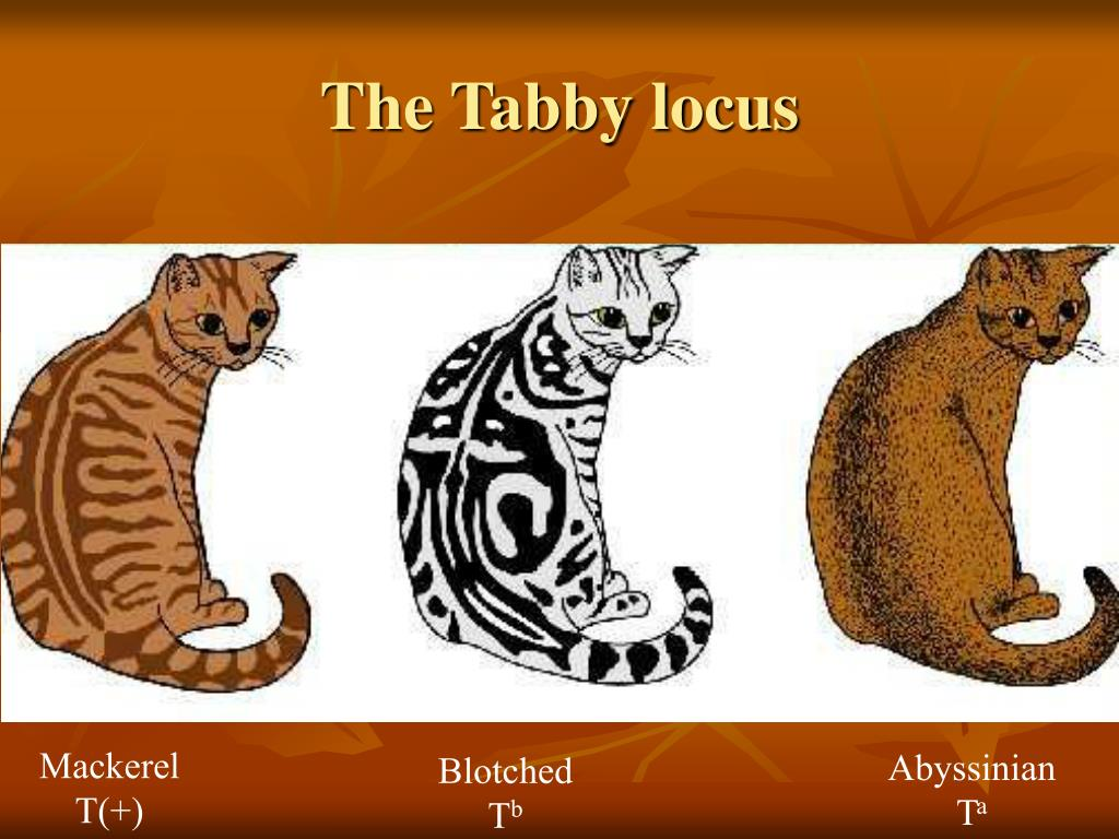 The Tabby locus