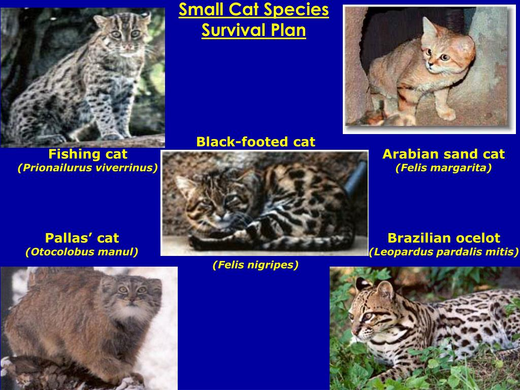 Small Cat Species