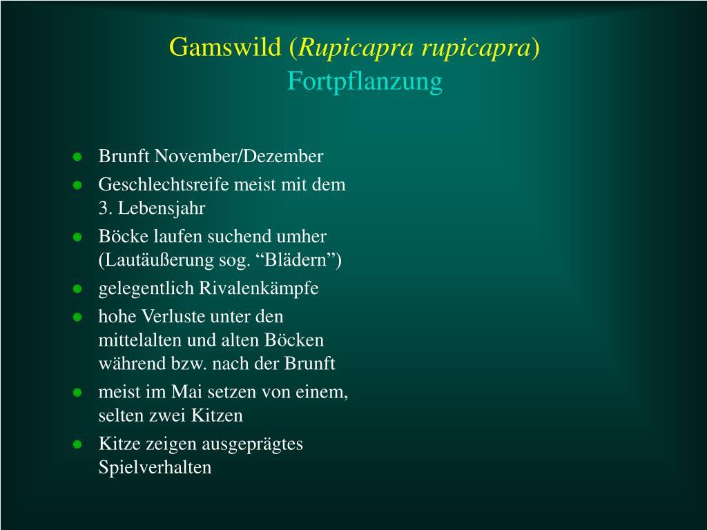 Gamswild (