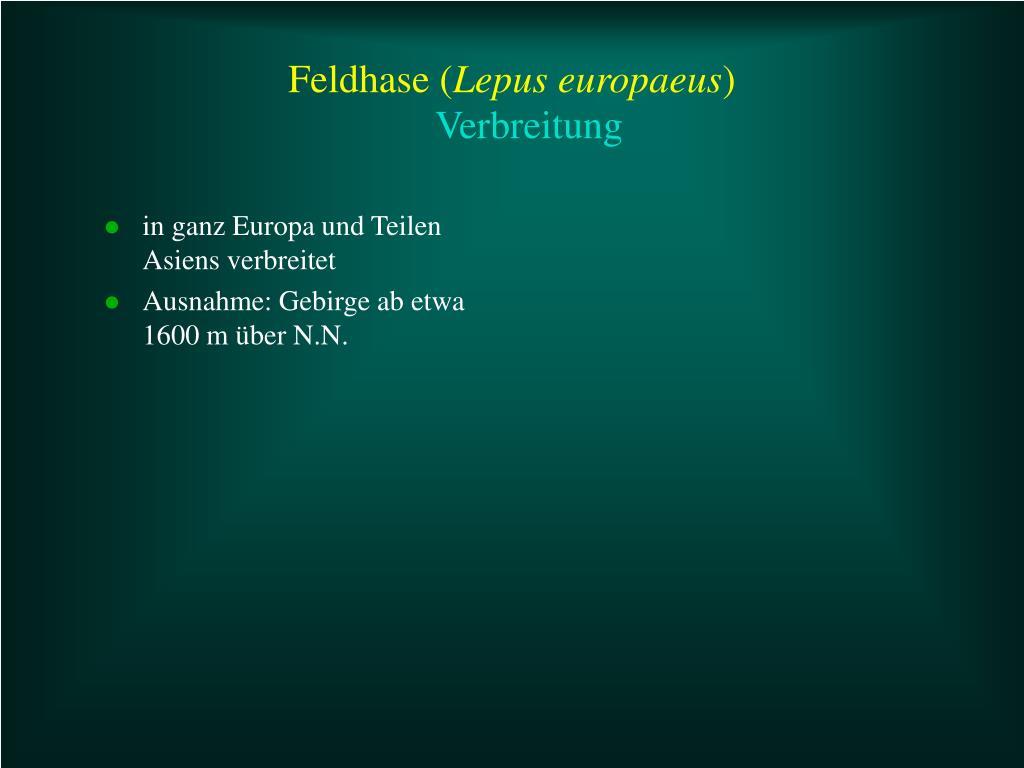 Feldhase (