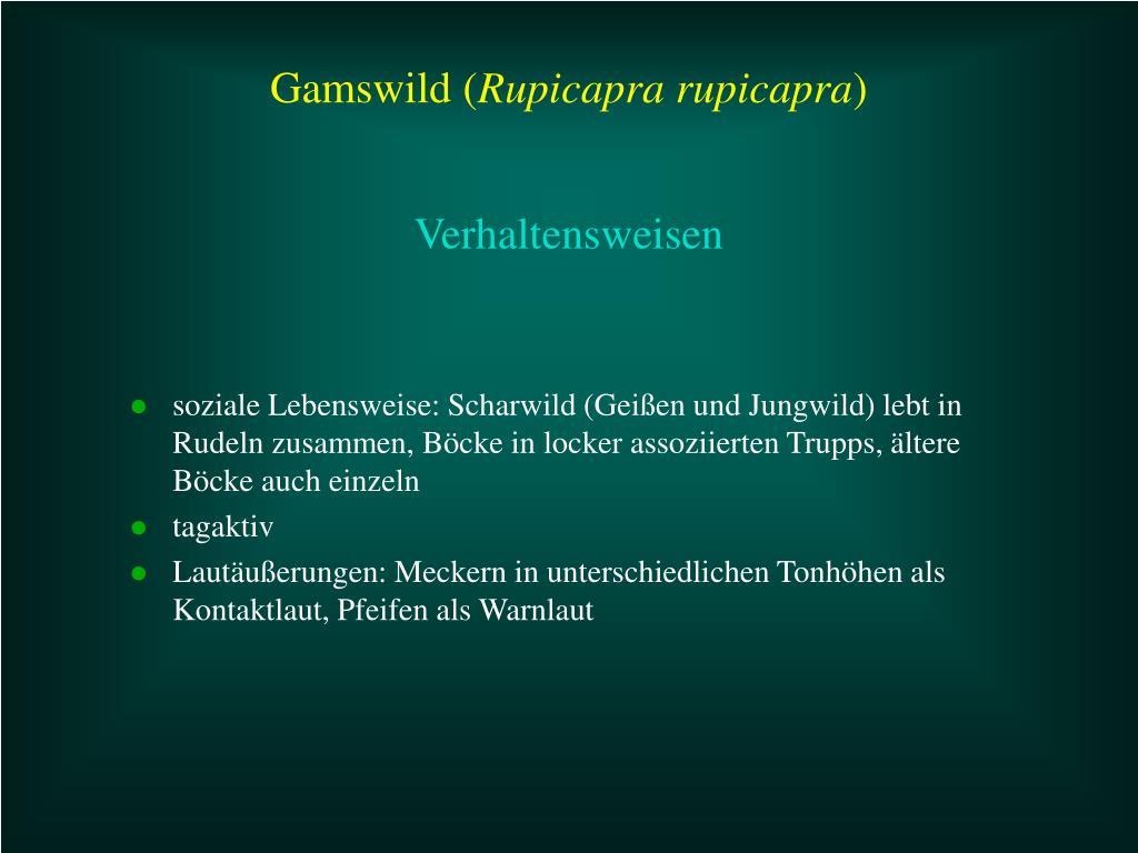 soziale Lebensweise: Scharwild (Geißen und Jungwild) lebt in Rudeln zusammen, Böcke in locker assoziierten Trupps, ältere Böcke auch einzeln