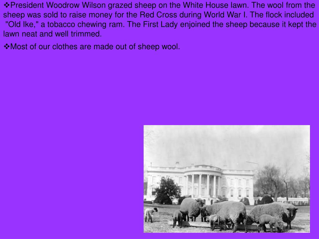 President Woodrow Wilson grazed sheep on the White House lawn. The wool from the