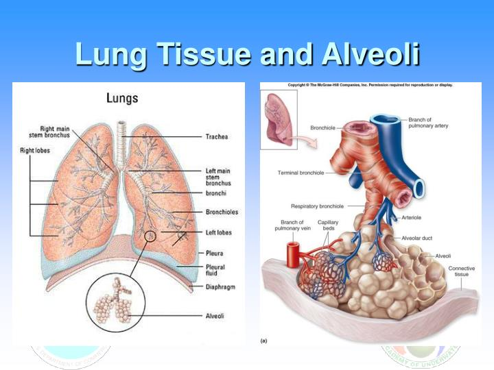 Lung Tissue and Alveoli