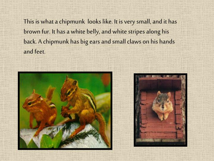 This is what a chipmunk  looks like. It is very small, and it has brown fur. It has a white belly, a...