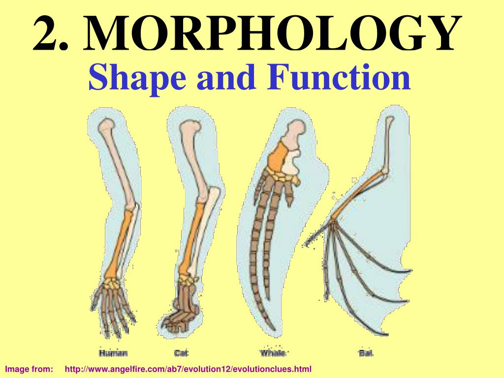 2. MORPHOLOGY