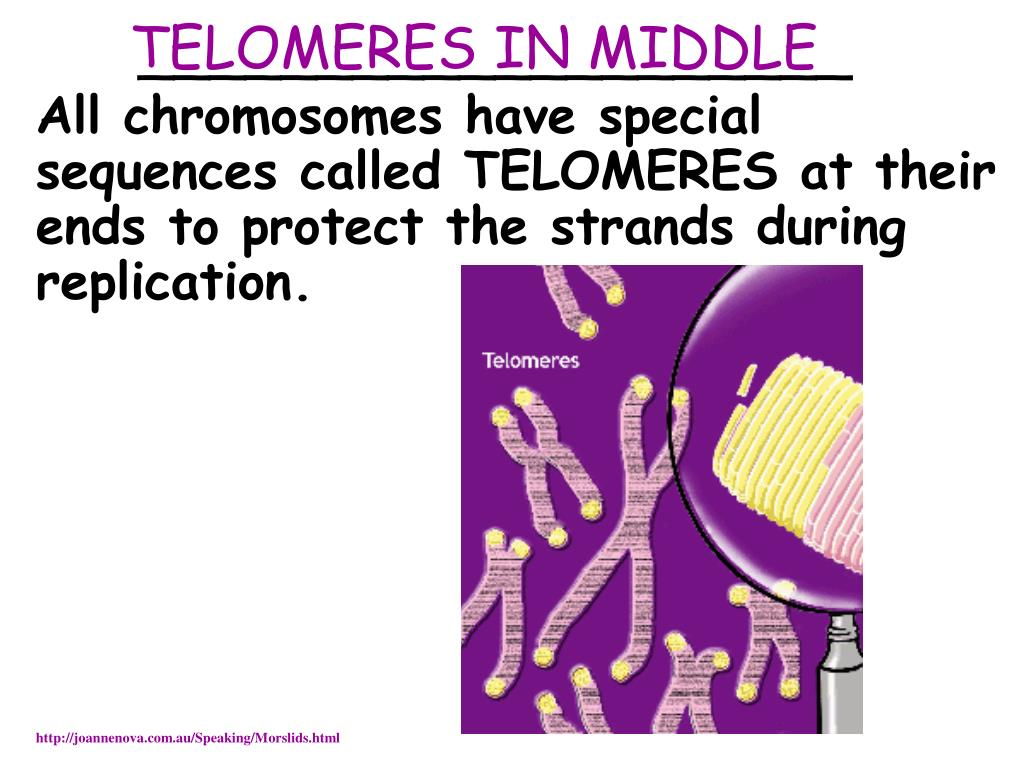 TELOMERES IN MIDDLE