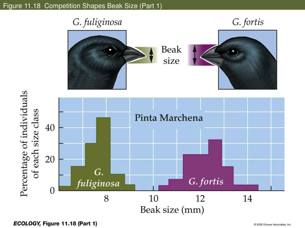 Figure 11.18  Competition Shapes Beak Size (Part 1)