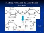 maltose formation by dehydration synthesis