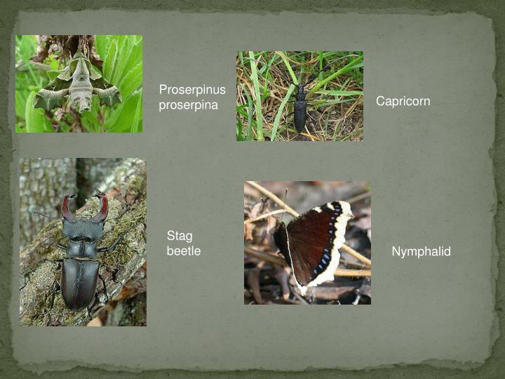 Proserpinus proserpina