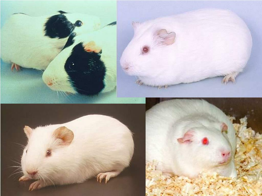 (Images) Guinea Pigs