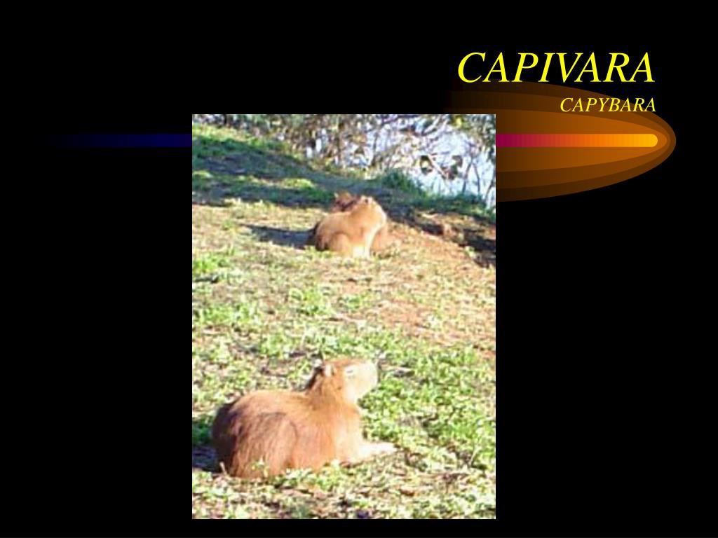 CAPIVARA