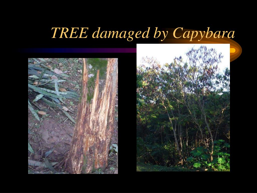 TREE damaged by Capybara