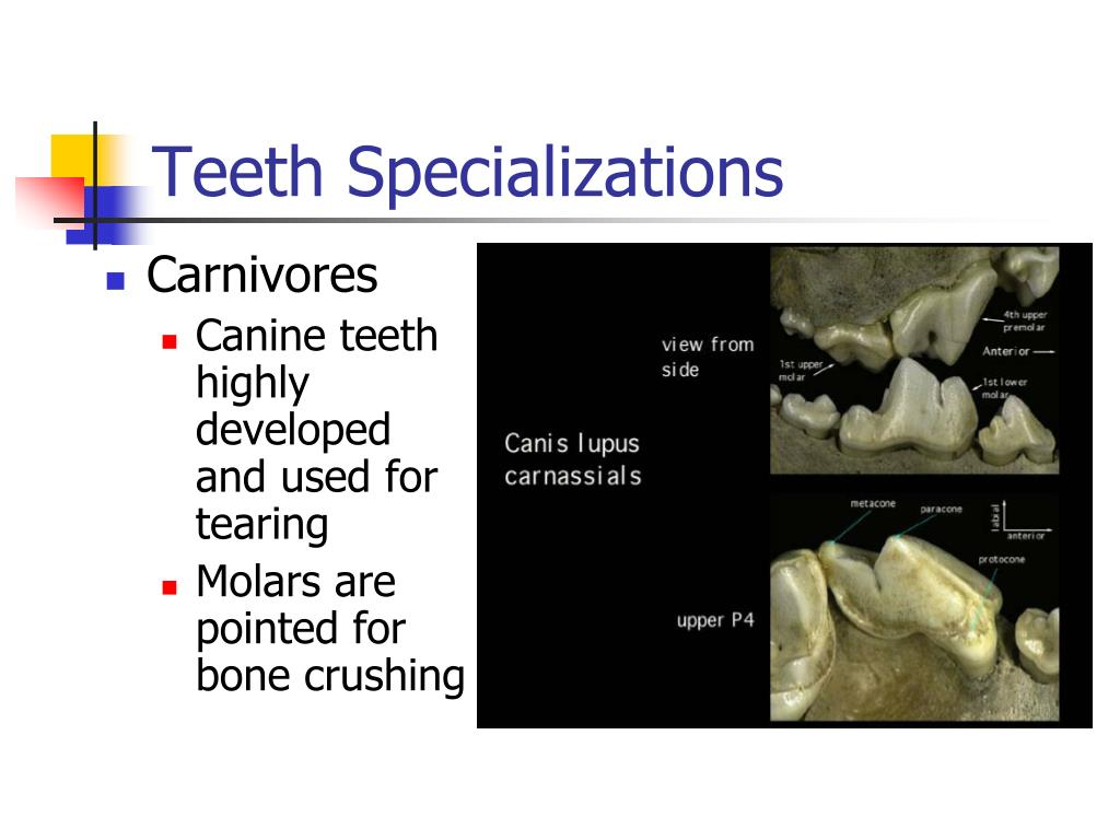 Teeth Specializations