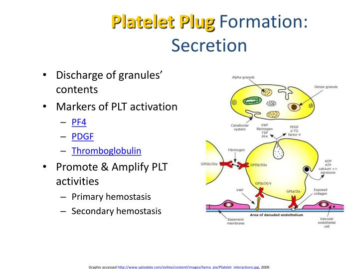 platelet plug formation Haemostasis - download as powerpoint  initiation-endothelial damage and response in the form of platelet adherence and plug formation acceleration-protein and.