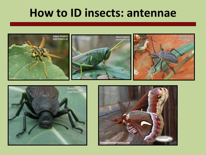 How to ID insects: antennae