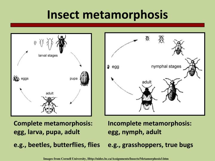 Insect metamorphosis