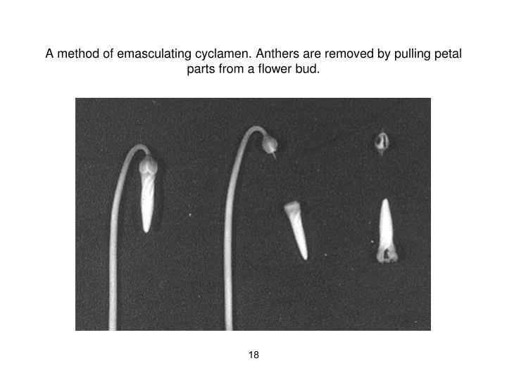 A method of emasculating cyclamen. Anthers are removed by pulling petal