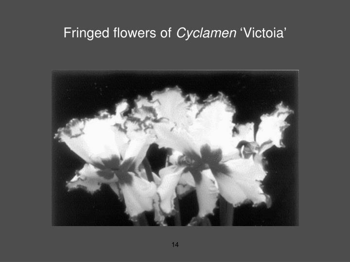Fringed flowers of