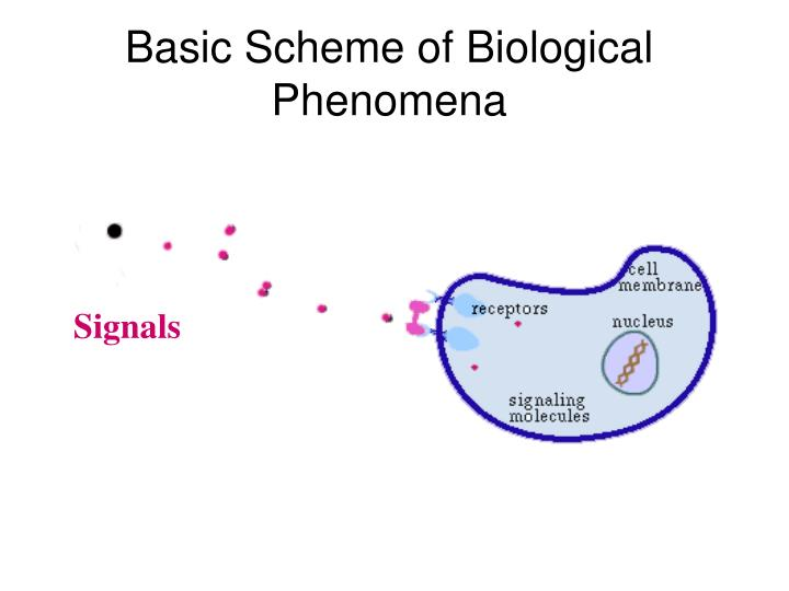 Basic scheme of biological phenomena