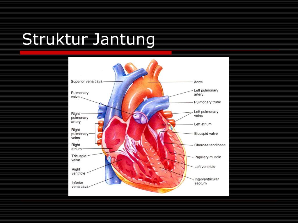 Struktur Jantung