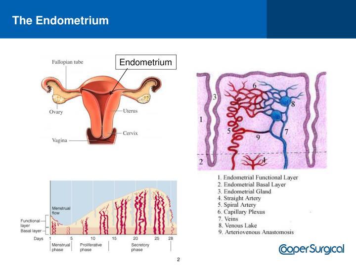 The Endometrium