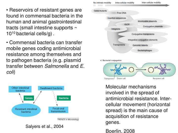 Reservoirs of resistant genes are found in commensal bacteria in the human and animal gastrointestinal tracts (small intestine supports ~ 10