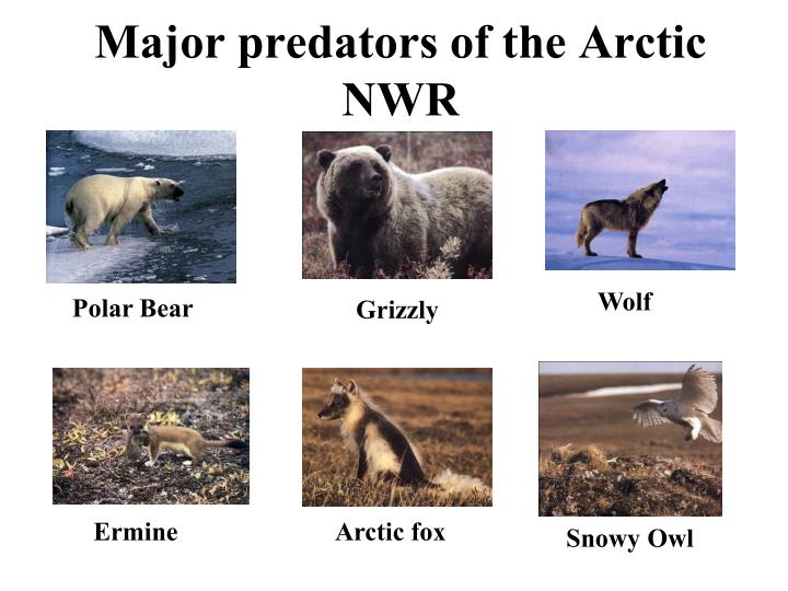 Major predators of the Arctic NWR