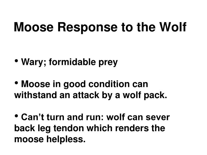Moose Response to the Wolf