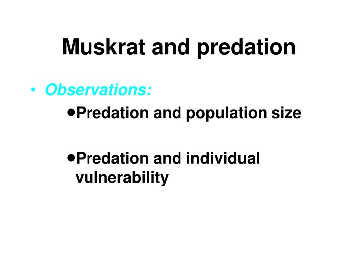 Muskrat and predation