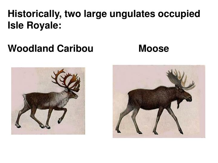 Historically, two large ungulates occupied Isle Royale: