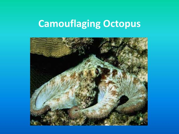 Camouflaging octopus