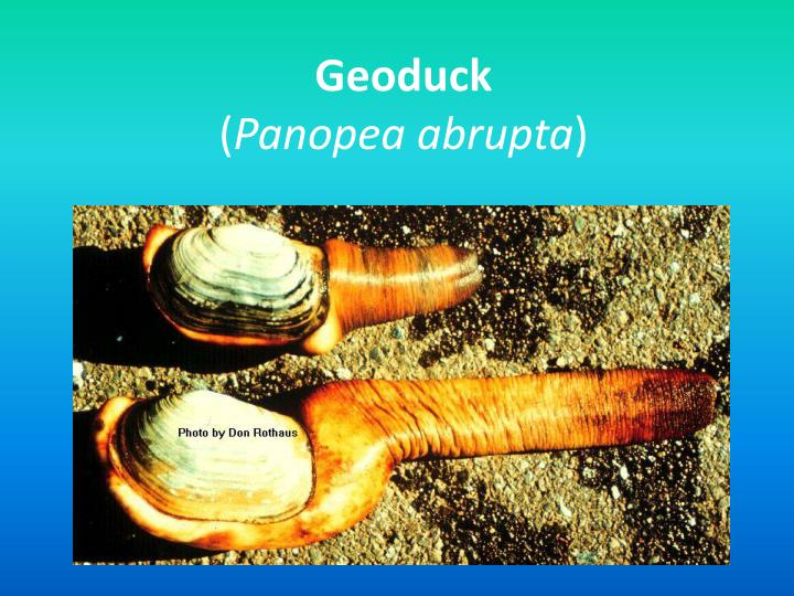 Geoduck