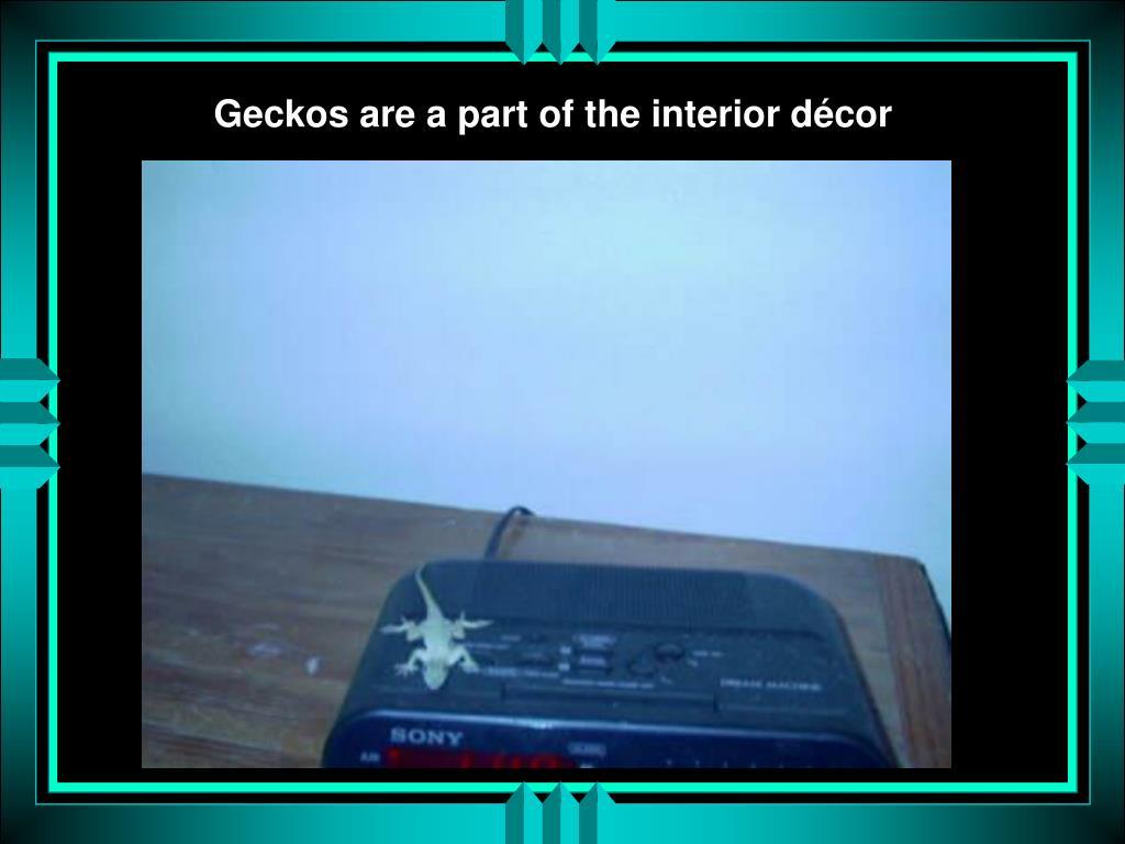 Geckos are a part of the interior décor