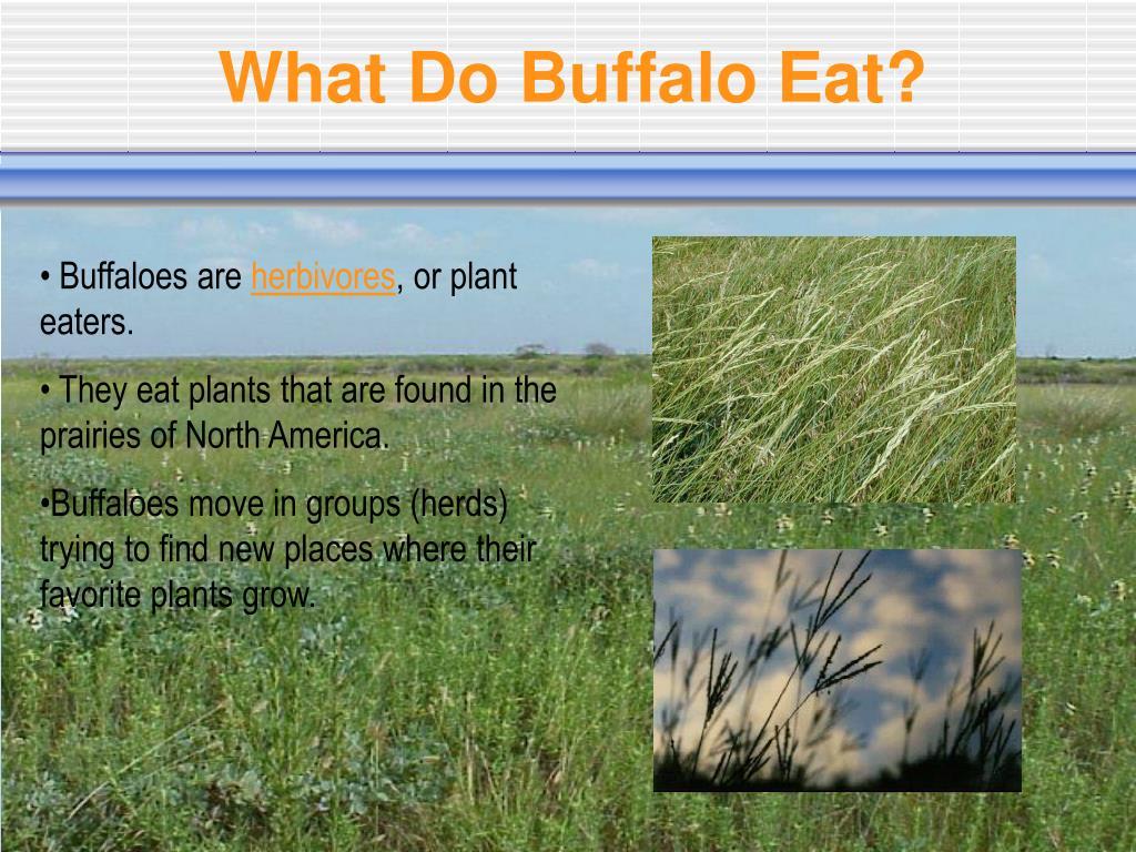 What Do Buffalo Eat?