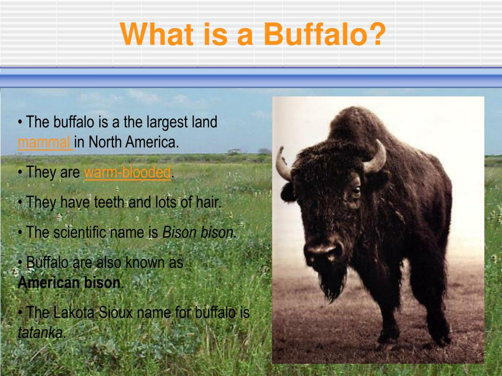 What is a Buffalo?